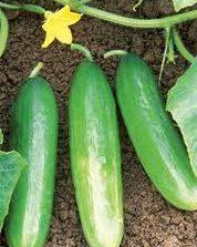 Cucumber___leban_4eb2566851600