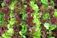 Lettuce_picking__4eb9d15b4832e