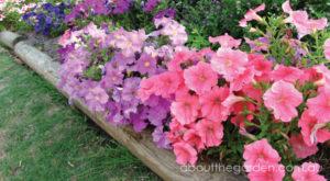 Petunia-garden-flower-petunia-garden-aboutthegarden